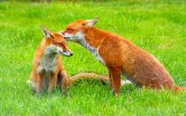 Foxes on a grass field