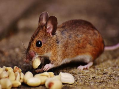photo of a mouse nibbling nuts
