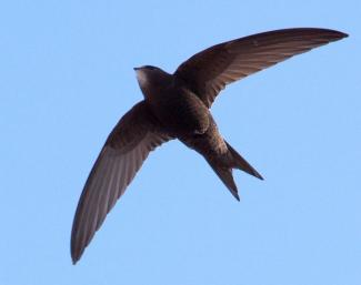 Swift in flight - large - all dark - plan chin usually  not visible - very fast -screaming calls